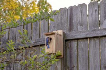 Male Bluebird in Birdhouse