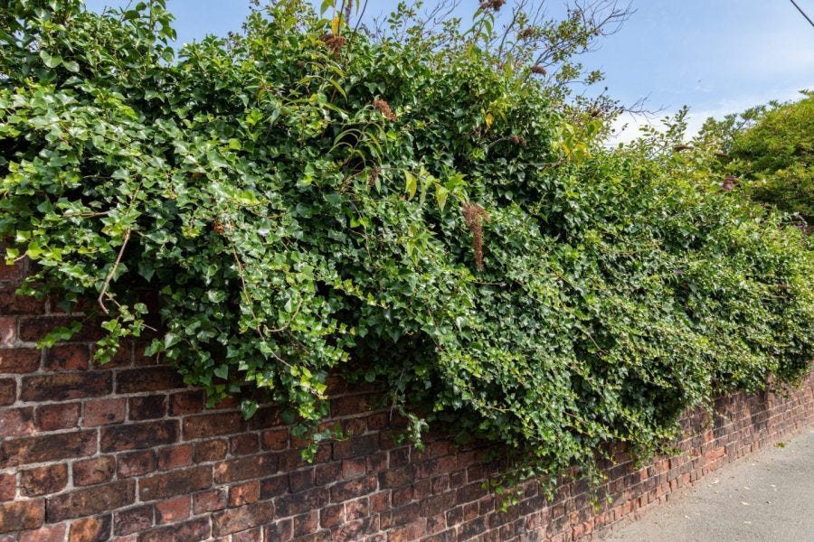 overgrown bushes on brick wall